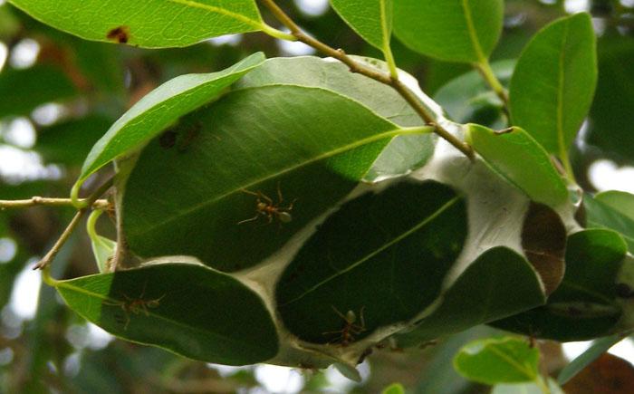 Жилище муравьёв-портных