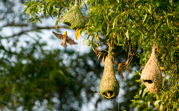 Гнездо индийского ткача