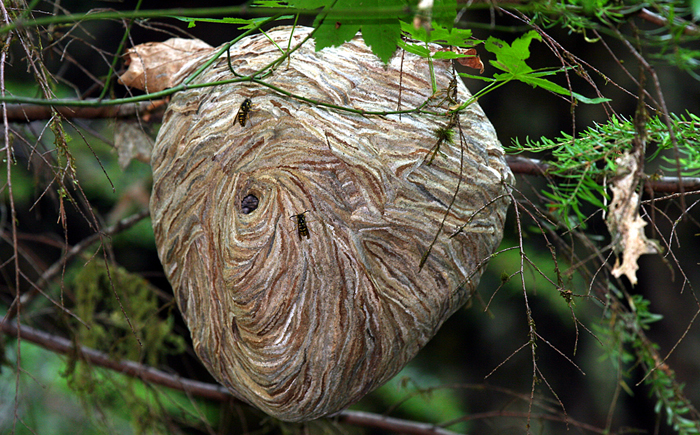 Гнездо бумажной осы