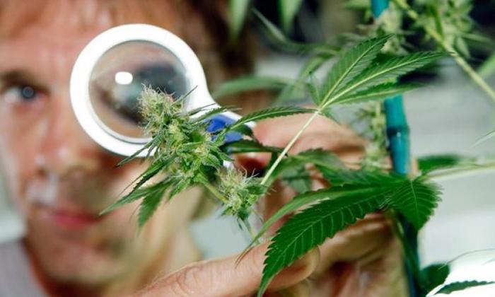 Знаменитости уптребляющие марихуану