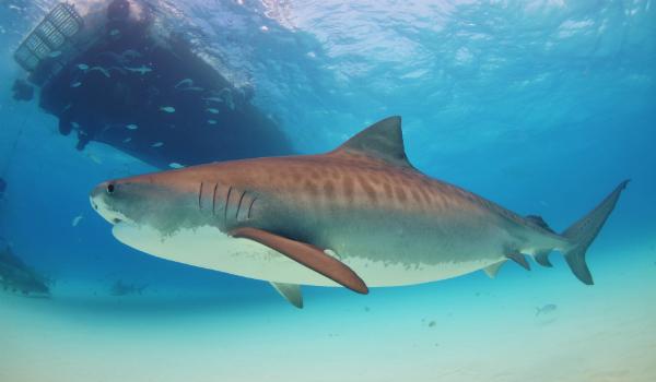 http://www.novate.ru/files/u31143/Tiger_shark.jpg