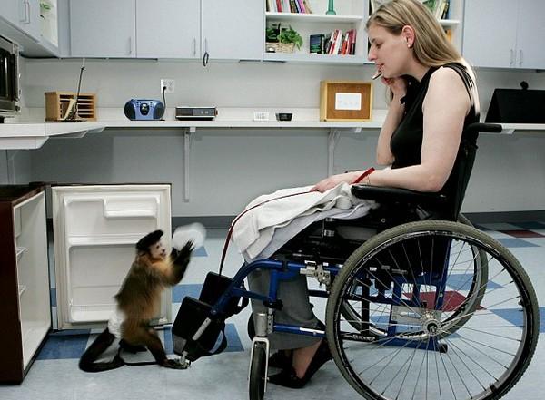Обезьяны-капуцины в помощь инвалидам. Источник фото: Mail Online