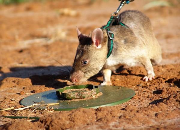 HeroRAT – крысы-герои, которые спасают человеческие жизни. Источник фото: Zooland