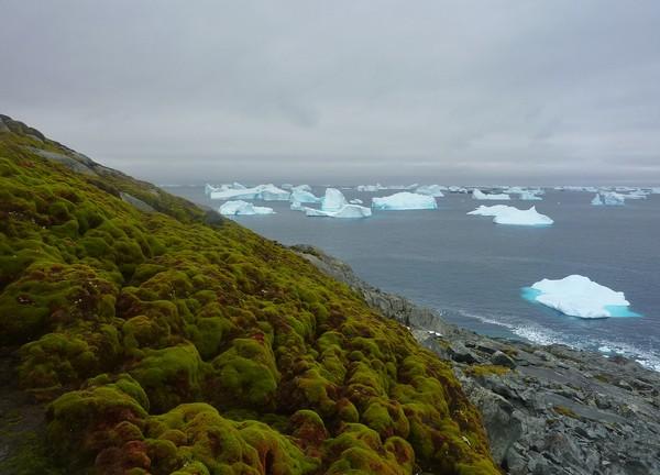 Мох Chorisodontium aciphyllum на побережье Антарктиды. Источник фото: antarcticglaciers.org
