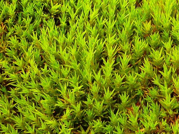 Мох Chorisodontium. Источник фото: antarcticglaciers.org