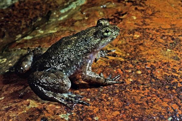Реобатрахус - заботливая лягушка. Источник фото: lavanguardia.com