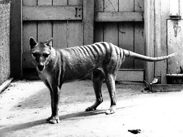 Сумчатый волк в зоопарке. Источник фото: salon.su