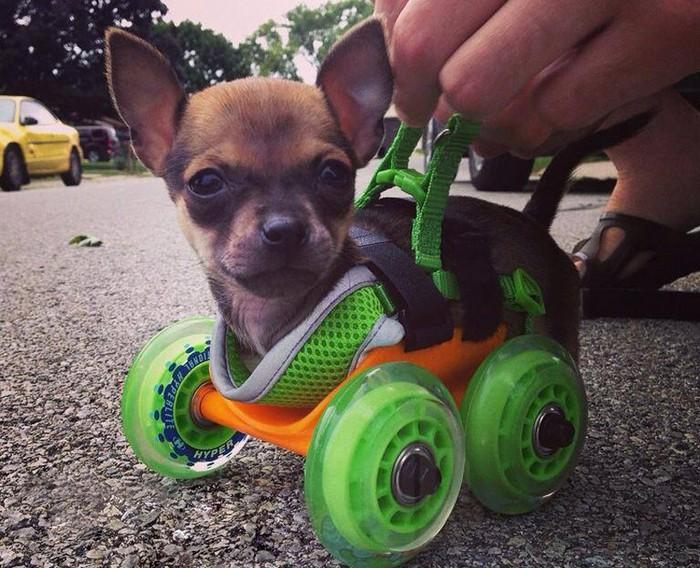 Turbo.Roo – инвалидная коляска для двуногого чихуахуа