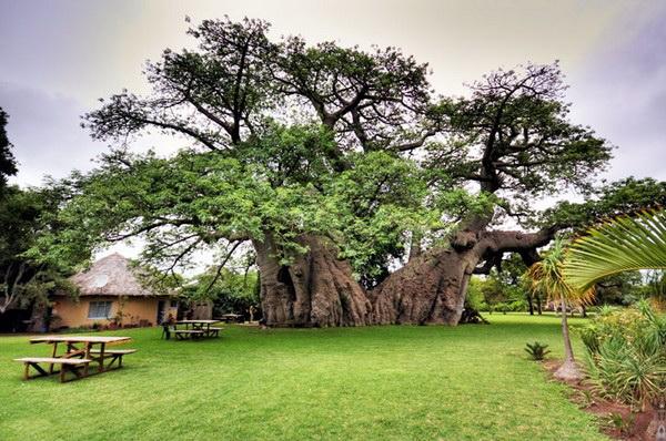Бар Sunland Baobab Pub внутри древнего баобаба. Источник фото: Amusing Planet