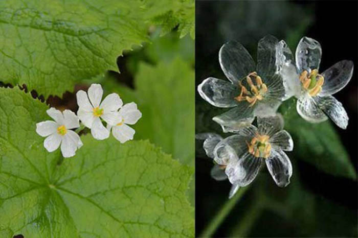 Цветок, становящийся прозрачным после дождя.