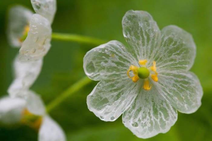 Цветок, теряющий пигментацию.