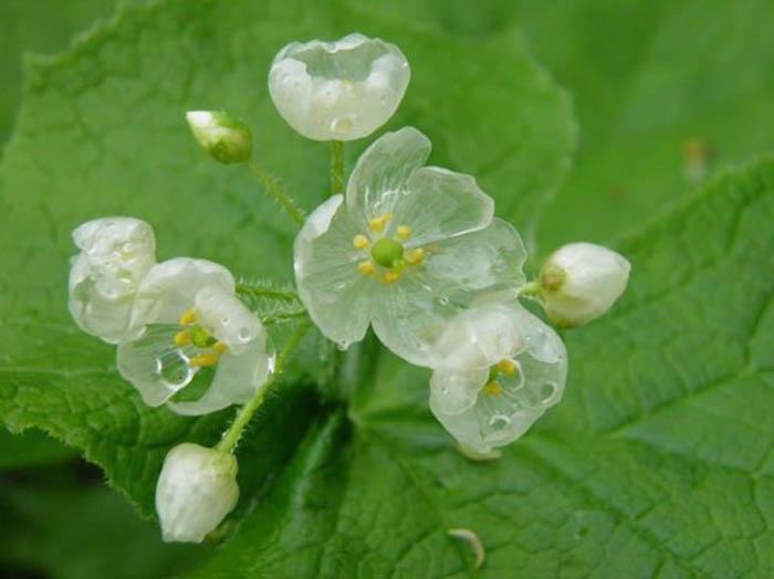 Удивительные цветы, теряющие пигментацию в дождь.