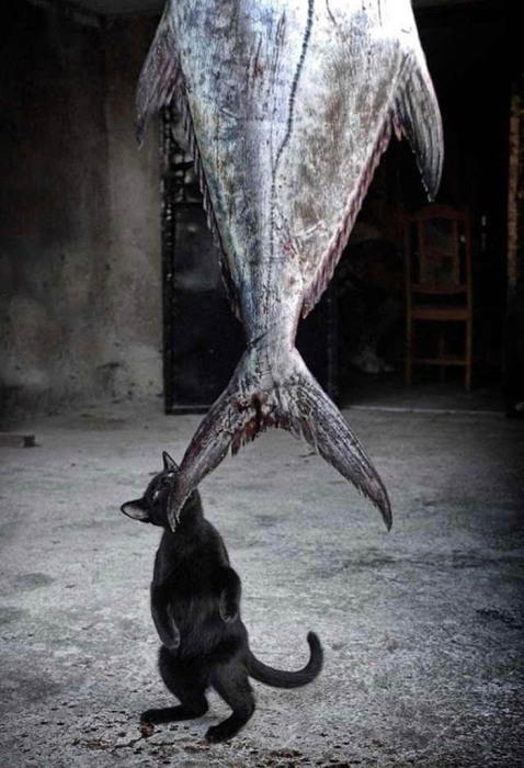 Кот, кусающий огромную рыбу.