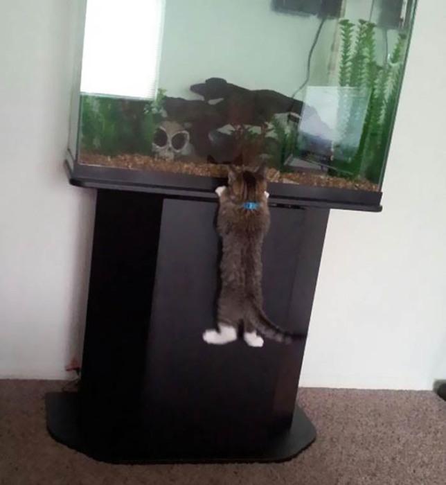 Кот, пробирающийся в аквариум.