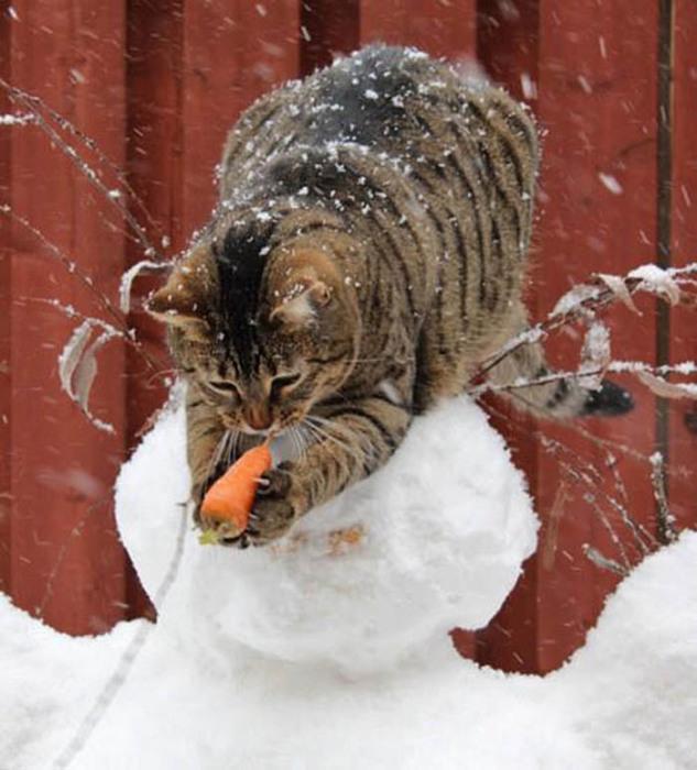 Кот оторвал морковку от снеговика.