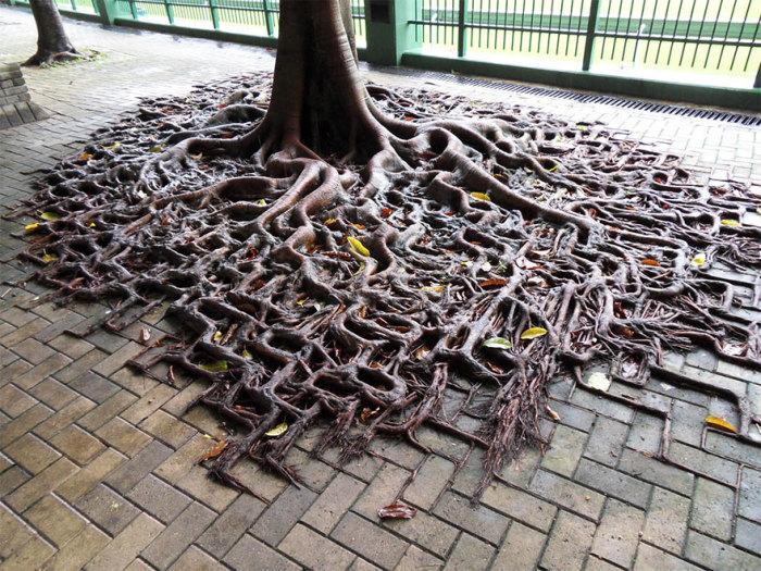 Корни дерева на тротуаре.
