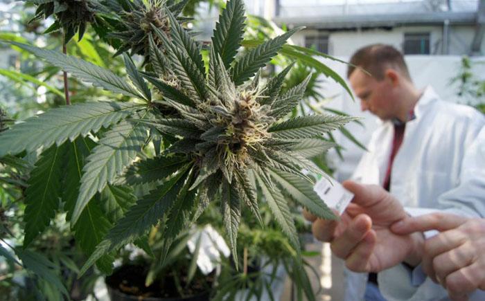 Лечение каннабисом: 10 основных заболеваний, которые лечатся марихуаной.