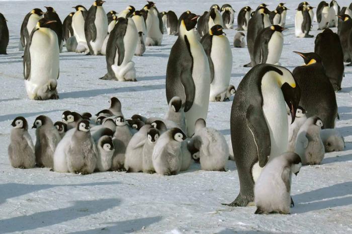Королевские пингвины на Южном полюсе.