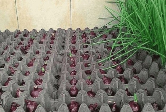 Как гарантированно вырастить зеленый лук в домашних условиях.