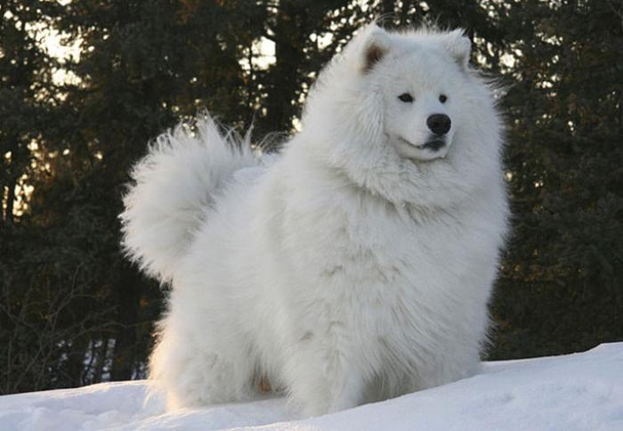 Самоедский пес.