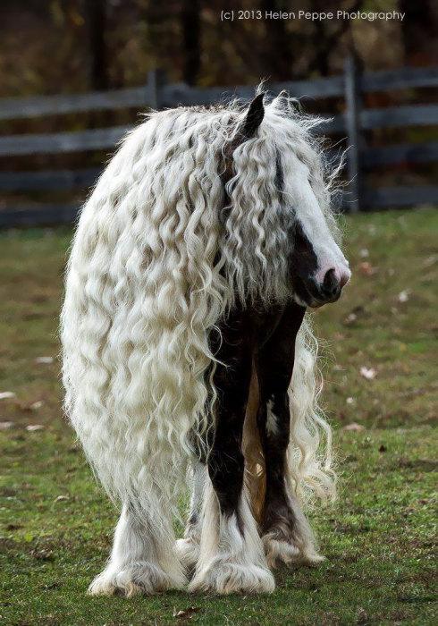Цыганская упряжная лошадь.
