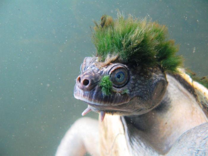 Черепаха реки Мэри с прической из водорослей.