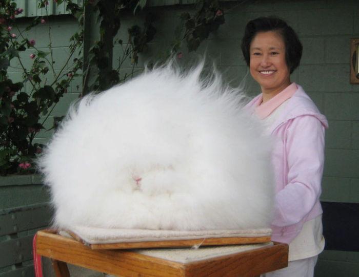 Ангорский кролик.