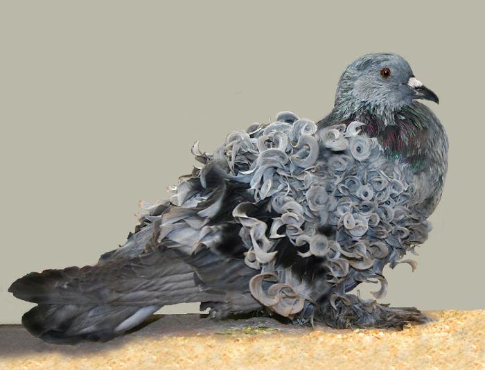 Кудрявый голубь.