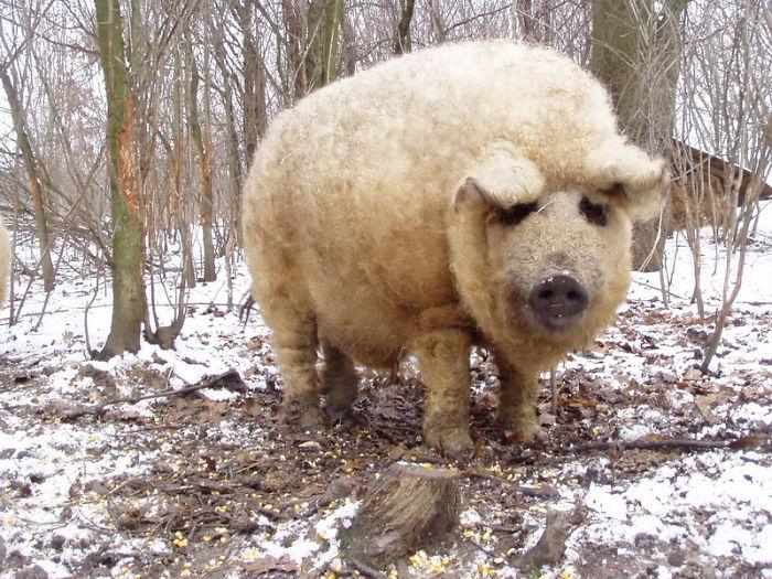 Мохнатая свинья.