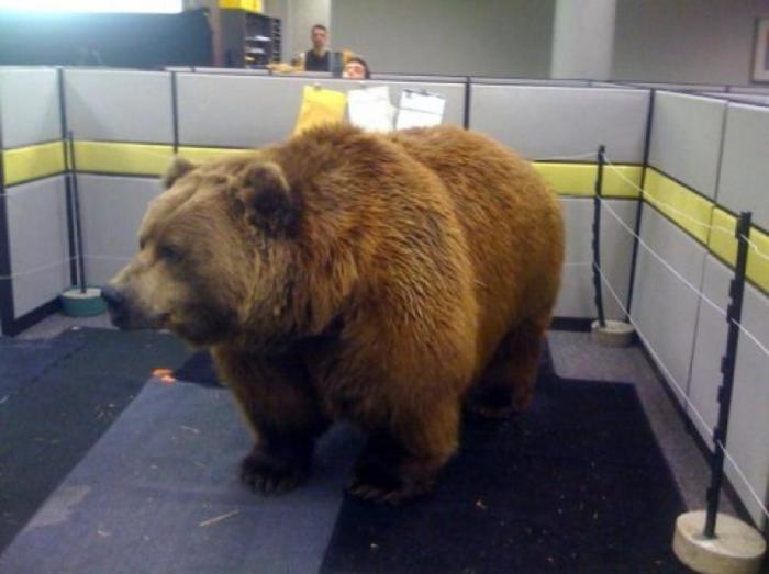 Этот медведь точно перепутал дорогу в зоопарк.