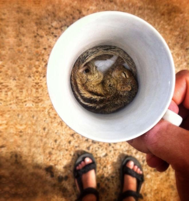 Белка, уснувшая в чашке.
