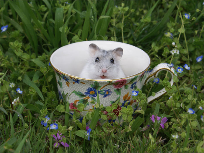 Маленький мышонок в чашке.