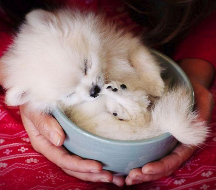 Маленький щеночек в чашке.