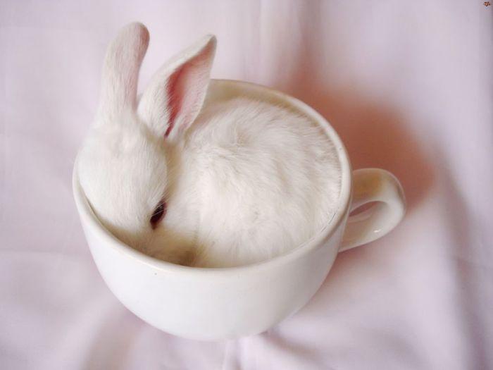 Белый кролик в белой чашке.