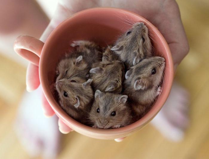 Шесть мышонков в одной чашке.
