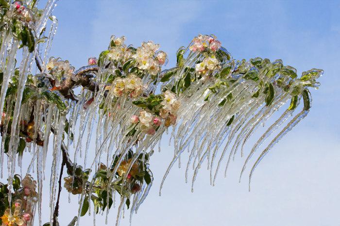 Цветущие ветки яблони во льду.