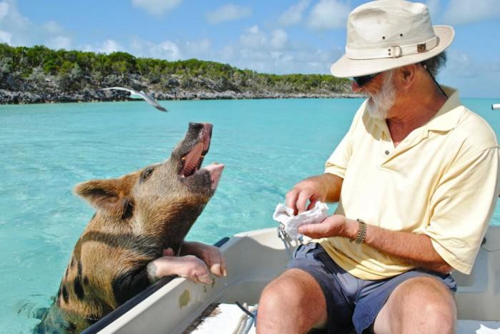 Дикие свиньи на пляже на Багамах.