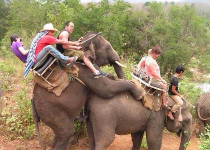 Катание на слонах, не способных сдерживать свою любовь друг к другу.