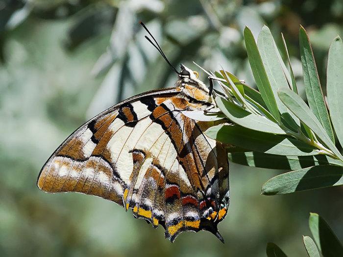 Хвостатая имперская бабочка после превращения.