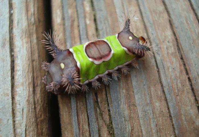 Ядовитая гусеница моли Имаго.