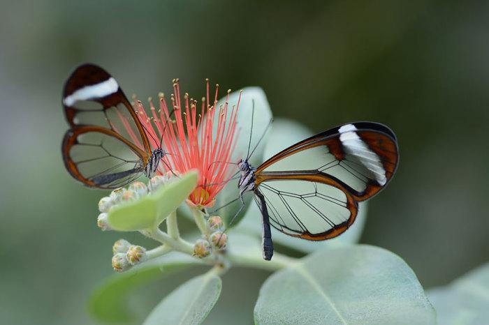 Стеклянная бабочка Грета Ото.