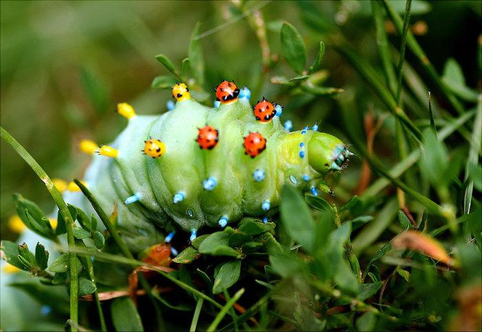 Гусеница Цекропии.