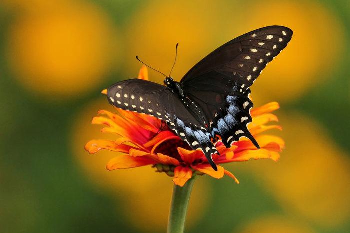 Бабочка Махаона после превращения.