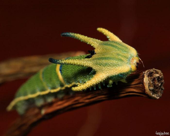 Гусеница Хвостатой имперской бабочки.