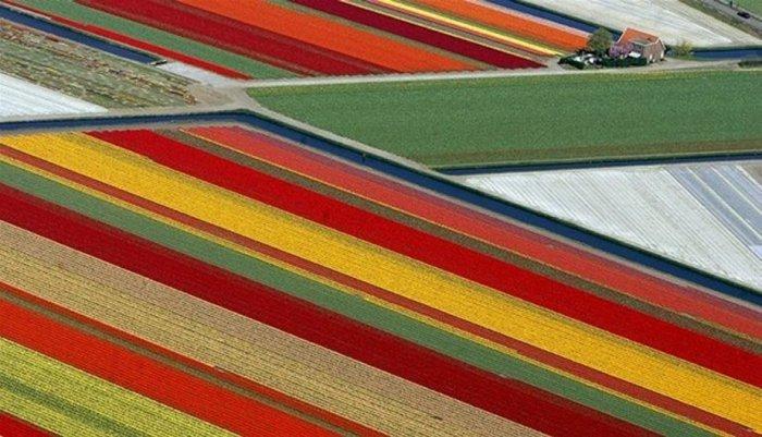 Яркие поля тюльпанов в Южной Голландии.