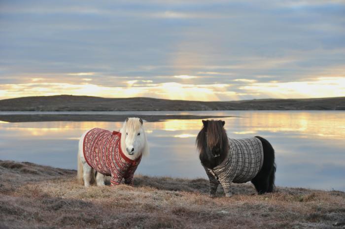 Милые пони в вязаных свитерах - символ Шотландии.