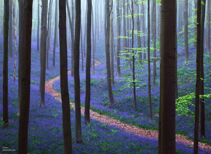Весна в Халлербосском лесу в Бельгии. Фотограф Kilian Schоnberger.