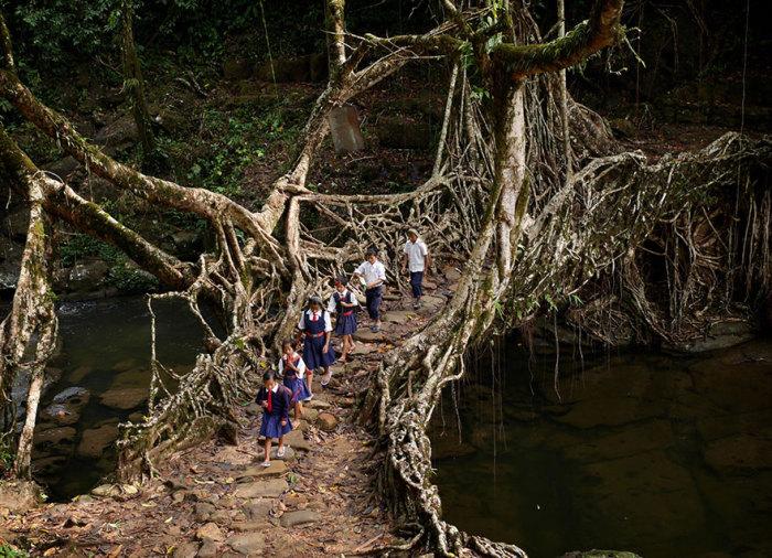 Индийские дети добираются в школу по мосту из корней деревьев.