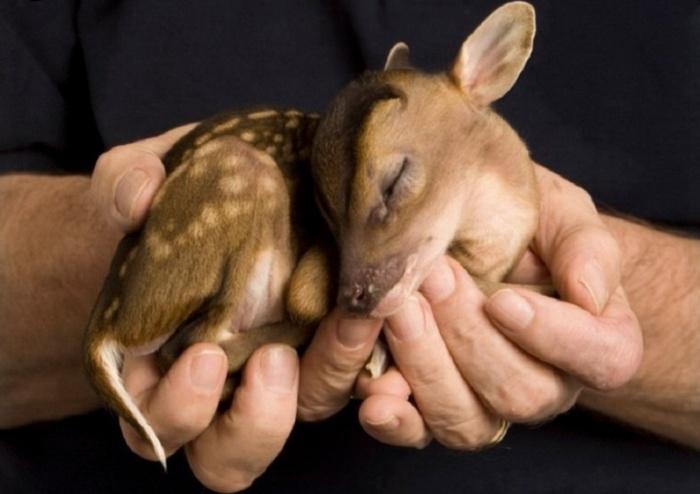 Маленький олененок может поместиться в ладонях у человека.