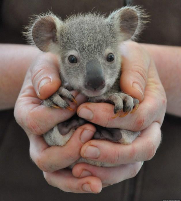 Медвежонок коалы в руках человека.